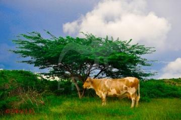 Happy Bay cow 15
